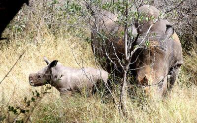 Rhinos poached on Ghaub