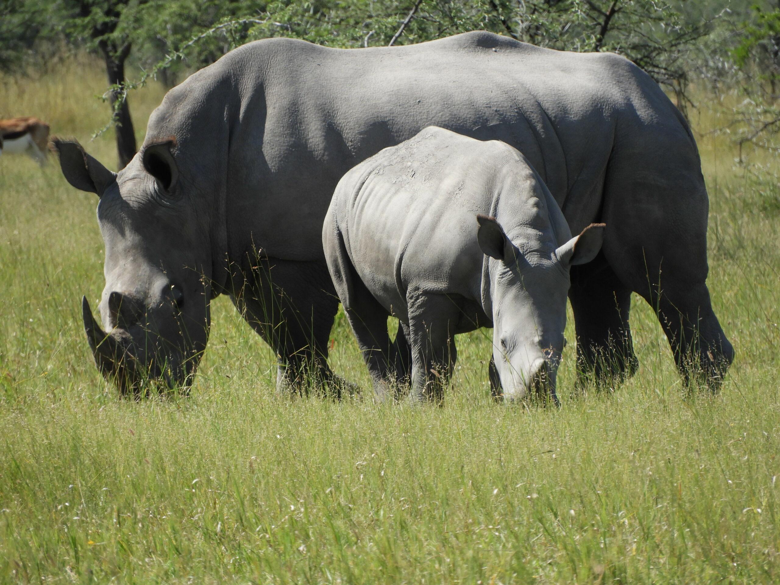 Rhino cow and calf on Ghaub
